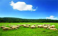 sheeplatestnews copy